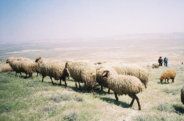 Ceyrançöldə çobanların bir günü - VİDEO